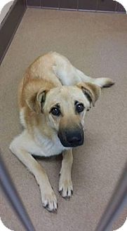 Shepherd (Unknown Type) Mix Dog for adoption in Las Vegas, Nevada - Berkely