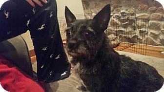 Cairn Terrier Mix Dog for adoption in Warsaw, Indiana - Izzie Bella