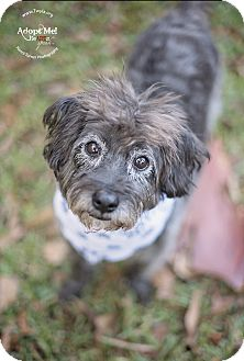 Schnauzer (Miniature) Mix Dog for adoption in Kingwood, Texas - Gus