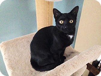 Domestic Shorthair Kitten for adoption in Colmar, Pennsylvania - Velvet