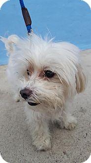 Maltese Dog for adoption in Brooklyn, New York - Prince Cinnamon