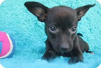 Chihuahua Mix Puppy for adoption in Waldron, Arkansas - CARSON BARKLEY