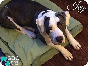 American Bulldog Mix Dog for adoption in Benton, Louisiana - Ivy