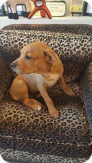 Golden Retriever/Boxer Mix Puppy for adoption in Valencia, California - Ervin