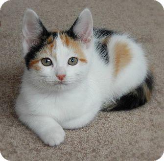 Domestic Shorthair Kitten for adoption in Austintown, Ohio - Giselle
