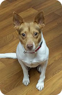 Rat Terrier/Jack Russell Terrier Mix Dog for adoption in Lisbon, Ohio - Duncan