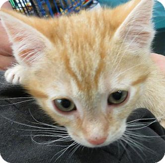 Domestic Shorthair Kitten for adoption in Vacaville, California - Sherman