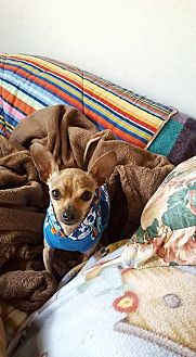 Chihuahua Mix Dog for adoption in Fountain Valley, California - Burt