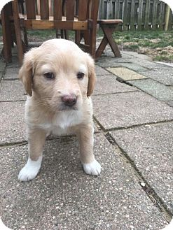 Retriever (Unknown Type) Mix Puppy for adoption in Troy, Michigan - Landry