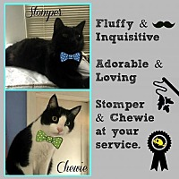 Domestic Mediumhair Cat for adoption in Greenwood, Louisiana - Stomper & Chewie