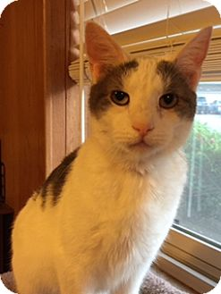Domestic Shorthair Cat for adoption in Chattanooga, Tennessee - Penny