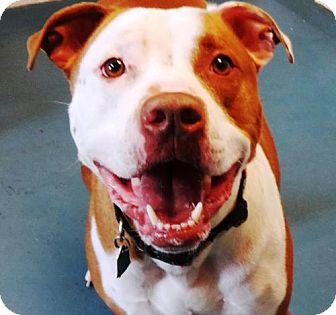 Pit Bull Terrier Mix Dog for adoption in Waynesboro, Pennsylvania - Peanut