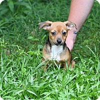 Adopt A Pet :: Shasta - South Dennis, MA