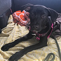 Adopt A Pet :: DOLLY - hollywood, FL