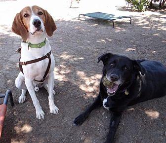 Labrador Retriever/Coonhound Mix Dog for adoption in Seal Beach, California - Apollo & Callahan