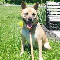 American Pit Bull Terrier/Shiba Inu Mix Dog for adoption in Clearfield, Pennsylvania - Prince
