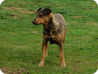 Shepherd (Unknown Type) Mix Dog for adoption in Mechanicsburg, Pennsylvania - Uli