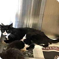 Adopt A Pet :: HOUDINI - Castaic, CA