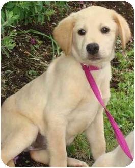 Labrador Retriever Mix Puppy for adoption in Brenham, Texas - Summer