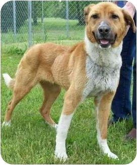 Labrador Retriever/Shepherd (Unknown Type) Mix Dog for adoption in North Judson, Indiana - Baily