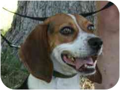 Beagle Mix Dog for adoption in Phoenix, Arizona - Macy Grace