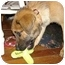 Photo 3 - Shepherd (Unknown Type)/Labrador Retriever Mix Puppy for adoption in Nashville, Tennessee - Lincoln