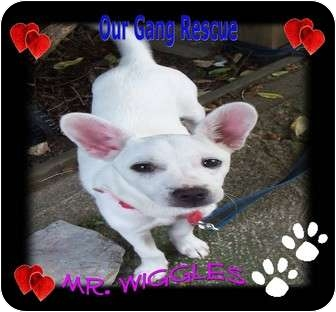 Chihuahua/Terrier (Unknown Type, Small) Mix Puppy for adoption in Cincinnati, Ohio - Mr. Wiggles