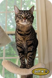 Domestic Shorthair Cat for adoption in Columbia, Maryland - Charles