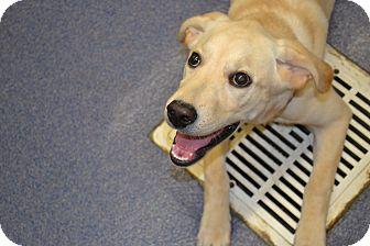 Labrador Retriever Puppy for adoption in Edwardsville, Illinois - Maisy