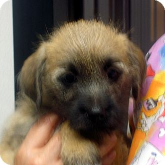 Cairn Terrier Mix Puppy for adoption in Manassas, Virginia - Malachite