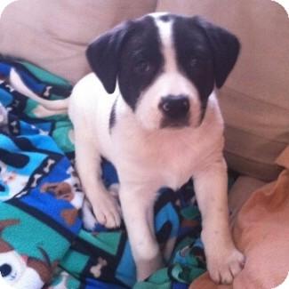 Terrier (Unknown Type, Medium)/Shepherd (Unknown Type) Mix Puppy for adoption in Columbia, Illinois - Blitzen