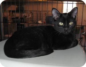 Domestic Shorthair Cat for adoption in Geneseo, Illinois - Flip