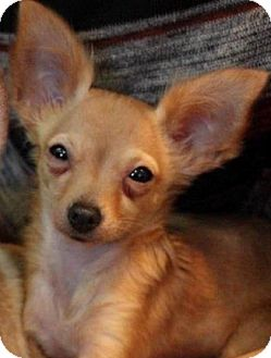 Papillon/Chihuahua Mix Puppy for adoption in Woodland Hills, California - Butter