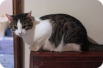 Domestic Shorthair Cat for adoption in Columbia, Maryland - Otis