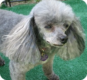 Poodle (Toy or Tea Cup) Dog for adoption in Dover, Massachusetts - Pepper