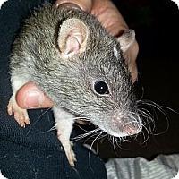 Adopt A Pet :: Agouti Dot Rex - Lakewood, WA