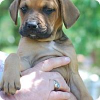 Adopt A Pet :: Diamond - Providence, RI
