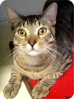 Domestic Shorthair Cat for adoption in Key Largo, Florida - Spice