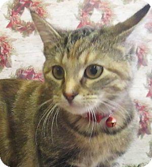 Domestic Shorthair Cat for adoption in Lloydminster, Alberta - Luna