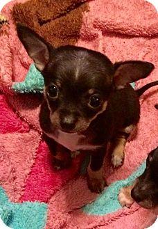 Chihuahua Puppy for adoption in Newport Beach, California - Juniper