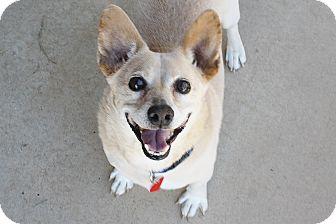 Corgi/Pug Mix Dog for adoption in Bellflower, California - Doolie - 22 lbs. Easy dog!