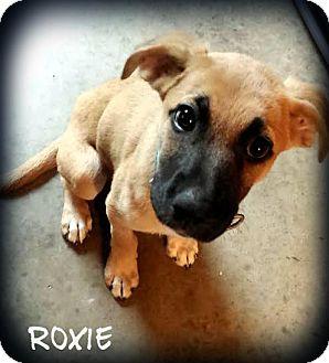 German Shepherd Dog/Labrador Retriever Mix Puppy for adoption in Cranford, New Jersey - Roxie