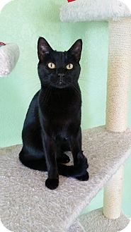 Domestic Shorthair Cat for adoption in Edmond, Oklahoma - Gabriel