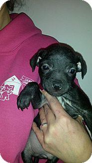 Boston Terrier Mix Puppy for adoption in House Springs, Missouri - DUKE