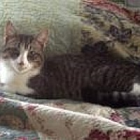 Domestic Shorthair Cat for adoption in Ashland, Ohio - Clyde