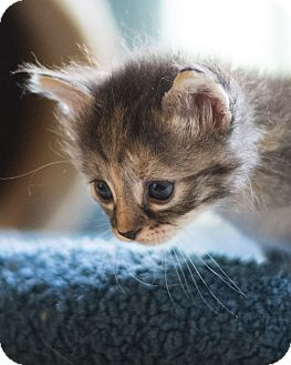 Domestic Shorthair Kitten for adoption in Houston, Texas - Sweetie