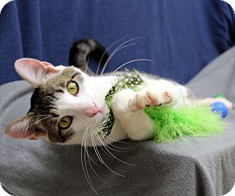 Domestic Shorthair Cat for adoption in McCormick, South Carolina - Roddi