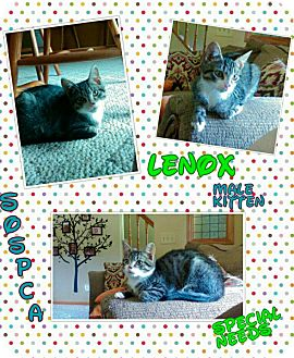 Domestic Shorthair Cat for adoption in Zanesville, Ohio - Lenox