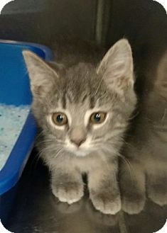 Domestic Shorthair Kitten for adoption in Troy, Ohio - rose