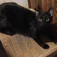Adopt A Pet :: Gustav - Sedalia, MO